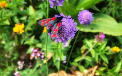 The Glorious Six-Spot Burnet